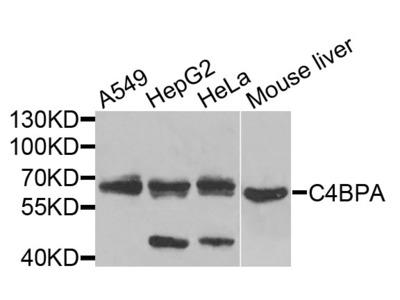 Anti-C4BPA Antibody