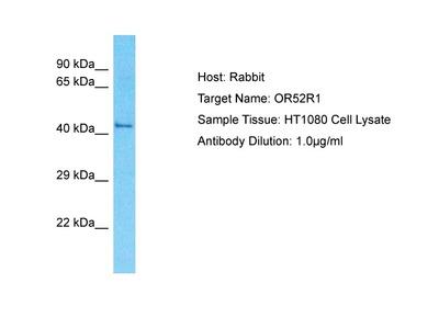 Anti-OR52R1 Antibody