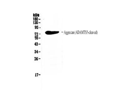 Anti-ATS5 ADAMTS5 Antibody