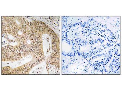 Anti-DAP/Dap1 Antibody
