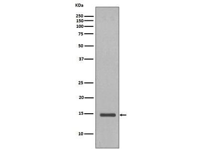 Anti-Histone H2B (yeast) Rabbit Monoclonal Antibody