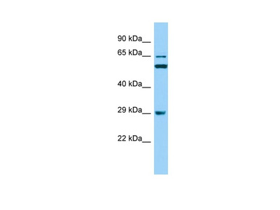 Anti-RAB19/Rab19B Antibody