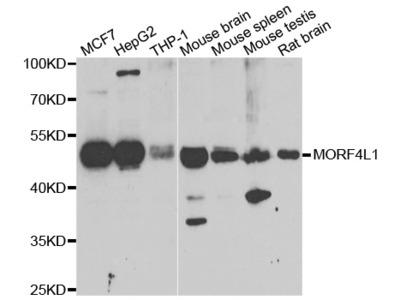 Anti-COQ3 Antibody