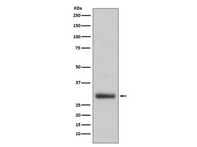 Anti-Neutrophil Elastase Rabbit Monoclonal Antibody