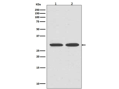 Anti-VDAC1/Porin Rabbit Monoclonal Antibody