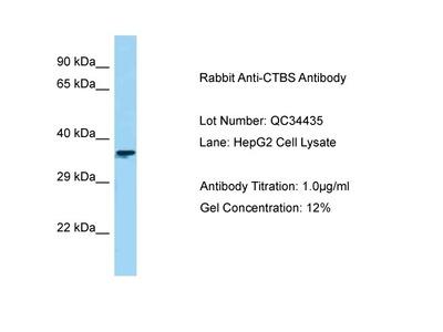 Anti-DIAC CTBS Antibody