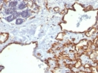 Anti-CD31 / PECAM-1 (Endothelial Cell Marker) Monoclonal Antibody