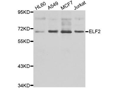Anti-ELF2 Antibody