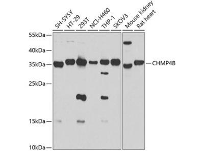 Anti-CHMP4B Antibody