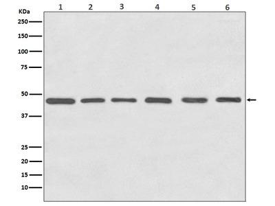 Anti-Tubulin gamma Rabbit Monoclonal Antibody