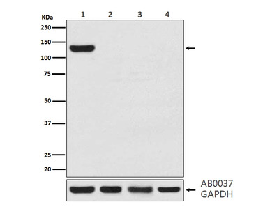 Anti-CRISPR-Cas9 Rabbit Monoclonal Antibody