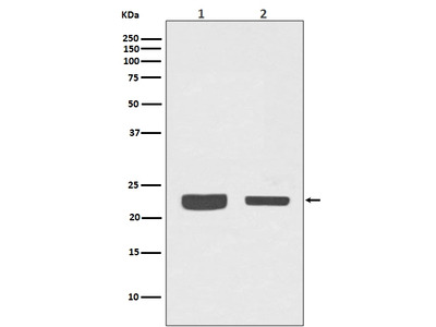 Anti-RAB7 Rabbit Monoclonal Antibody