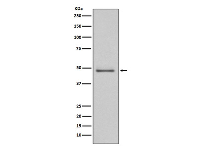 Anti-MEK5 Rabbit Monoclonal Antibody