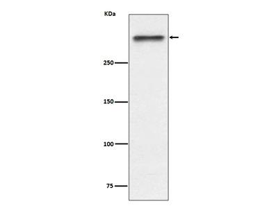 Anti-53BP1 Rabbit Monoclonal Antibody