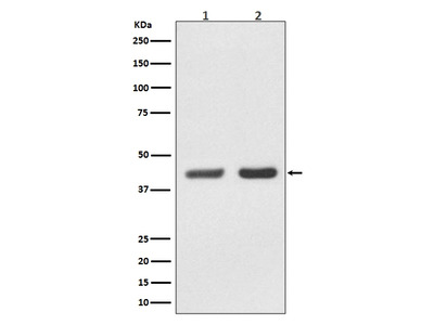 Anti-Bmi1 Rabbit Monoclonal Antibody