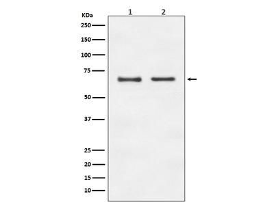 Anti-E2F1 Rabbit Monoclonal Antibody