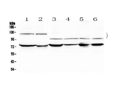 Anti-NFATC4 Picoband Antibody