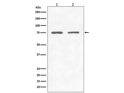 Anti-GARS Rabbit Monoclonal Antibody