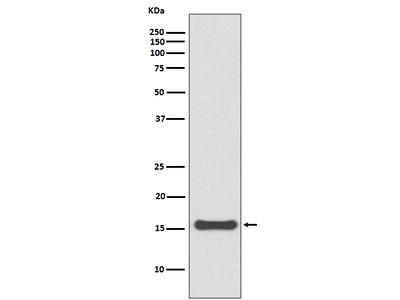 Anti-SUMO4 Rabbit Monoclonal Antibody