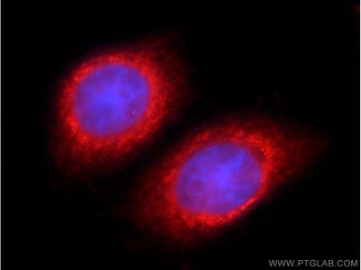 TSC22D2 antibody