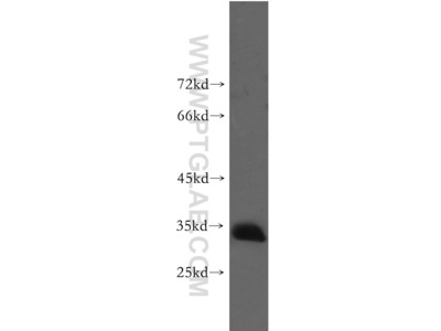 Prnd antibody