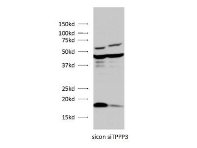 TPPP3 antibody