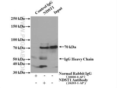 NDST1 antibody