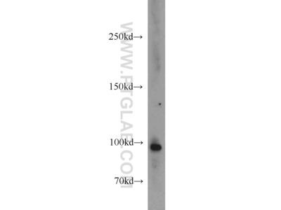 TUBGCP3 antibody