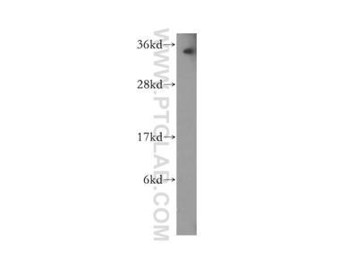 PNRC1 antibody