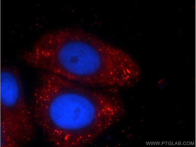 C5orf26 antibody