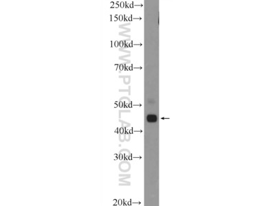 TTLL10 antibody