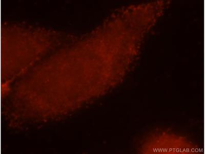 CD300LG antibody