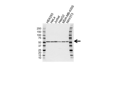 TUBULIN ALPHA 3C/D CHAIN ANTIBODY WITH CONTROL LYSATE