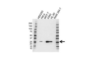 RAB27A ANTIBODY WITH CONTROL LYSATE