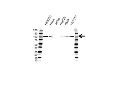FCP1 ANTIBODY WITH CONTROL LYSATE