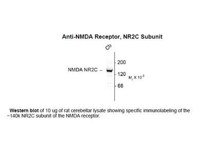 Anti-NMDA Receptor, NR2C Subunit