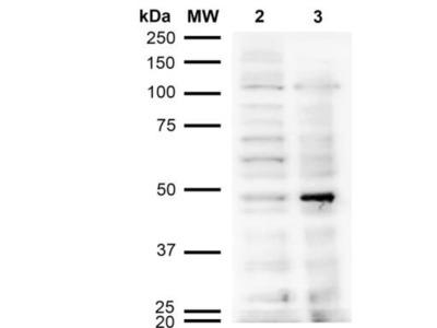Mouse Monoclonal Acrolein Antibody
