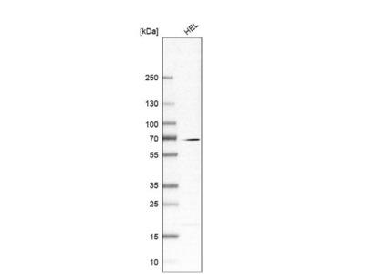 CKAP2L Antibody