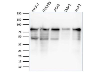 MCM7 Antibody (MCM7 /1468)