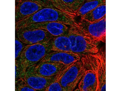 KCNMB4 Antibody