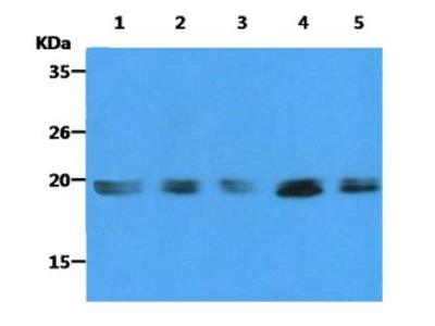 KRAS Antibody (2F8)