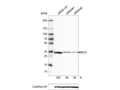 CCDC109A Antibody (CL3576)