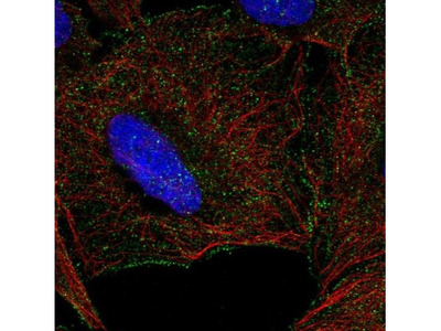 NKG2D / CD314 Antibody