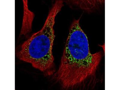 PMFBP1 Antibody