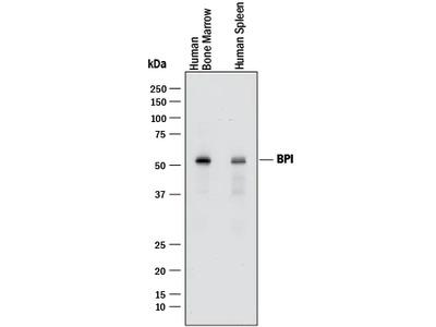 BPI Antibody