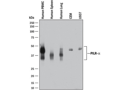 PILR-alpha Antibody
