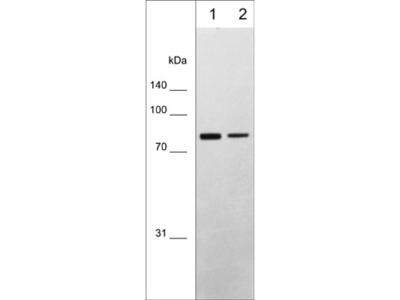 PKCβ (N-terminal region) M598 Antibody