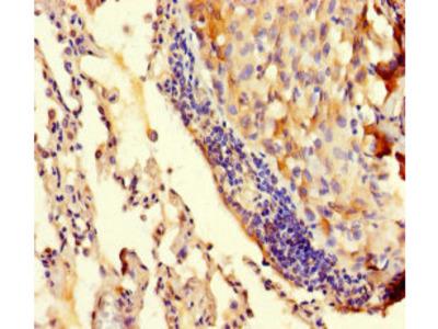 TRMT112 Antibody