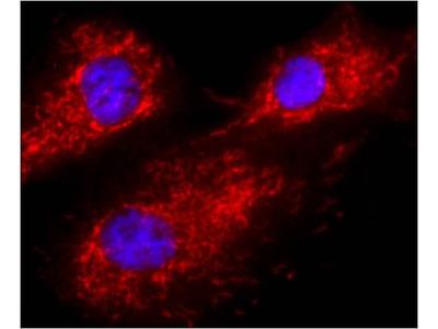 Calnexin Monoclonal Antibody (AF18)