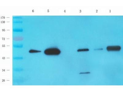Acetylhydrolase PAF antibody